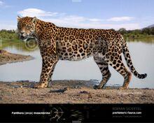 Panthera-onca-mesembrina1-738x591.jpg