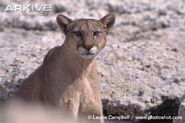 Patagonian-puma