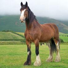 Shire horses 01.jpg