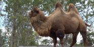 Toledo Zoo Camel