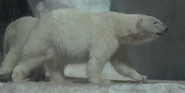 Toledo Zoo Polar Bear V2