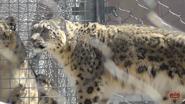 Toronto Zoo Snow Leopard