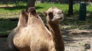 Utica Zoo Bactrian Camel