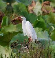 640px-Intermediate Egret in breeding plumage.1 - Fogg Dam - Middle Point - Northern Territory - Australia.jpg