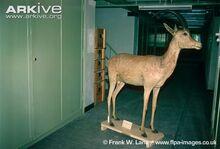 Bluebuck-mounted-museum-specimen.jpg