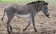 Grévy's Zebra (V2)