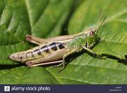 Grasshopper, Common Green (V2)