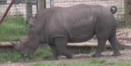 Jacksonville Zoo Rhino