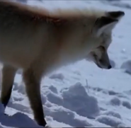 MATG Fox