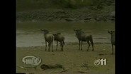 Maximum Exposure Wildebeests