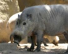 Pig, Bearded.jpg