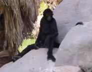 Spider monkey in arizona's wildlife world zoo