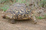 Tortoise, Leopard