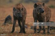 Two spotted hyenas