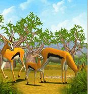 ZT-Thomson's Gazelle