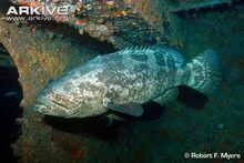 Atlantic-goliath-grouper-lateral-view.jpg