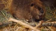 Columbus Zoo Beaver