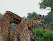 HugoSafari - Giraffe16