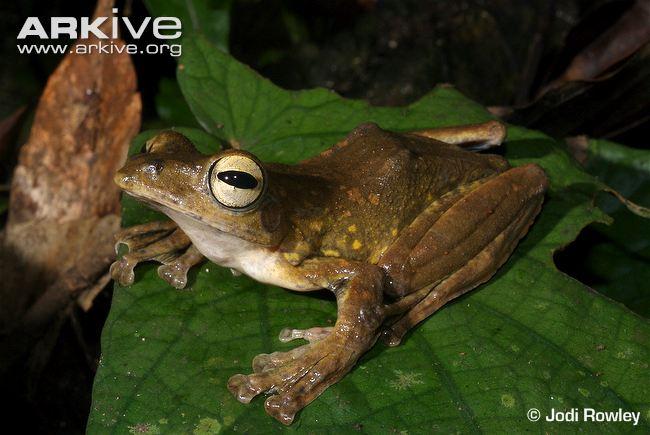 Annam Flying Frog