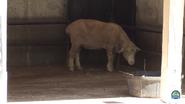 Kansas City Zoo Sheep