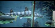 San Diego Zoo Lemon Shark