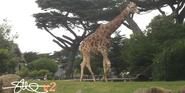 San Francisco Zoo Giraffe