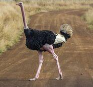 Struthio camelus massaicus