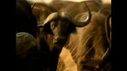 WAET Buffalos