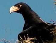 WWCM Eagle