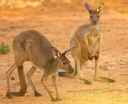Western Grey Kangaroo Boomer and Flyer