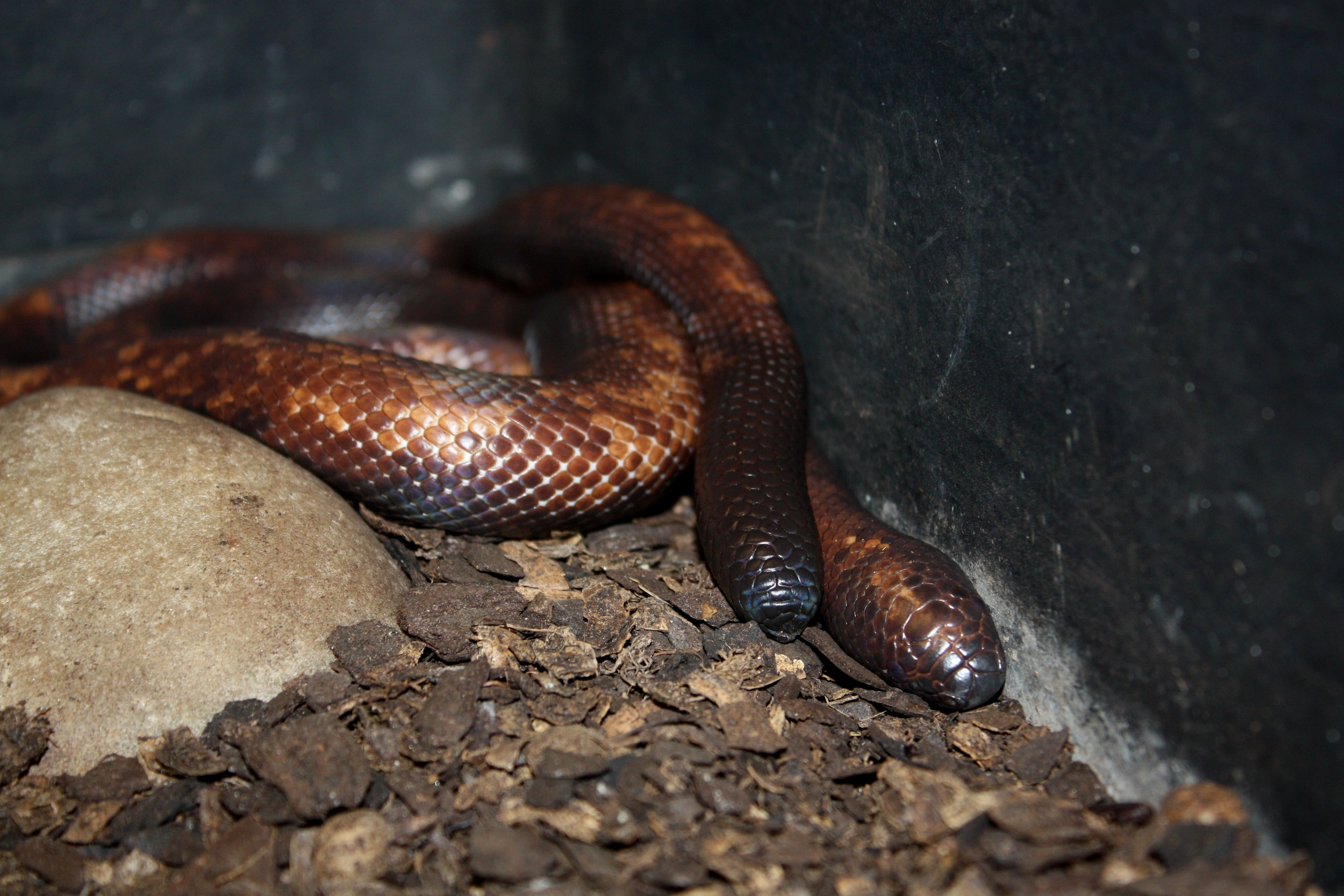 African Burrowing Python