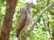 Cuckoo-Hawk, Madagascar