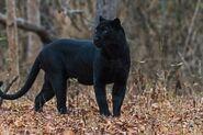 Leopard, Indian (Black)