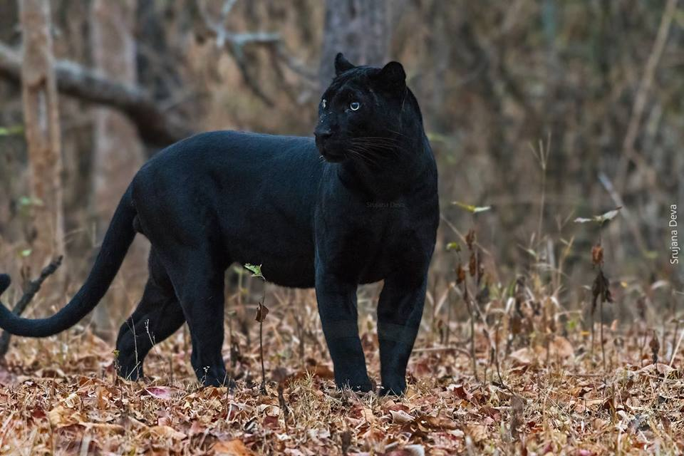 Asiatic Black Leopard