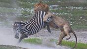 Lion attacking a Zebra