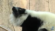Reid Park Zoo Ruffed Lemur