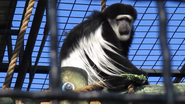 Rolling Hills Zoo Colobus