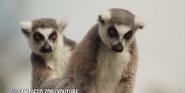San Diego Zoo Lemurs