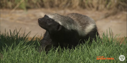 San Diego Zoo Safari Park Honey Badger