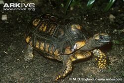 South-American-yellow-footed-tortoise.jpg