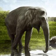 Sumatran elephant (Elephas maximus sumatranus)