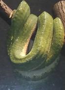 Toledo Zoo Green Tree Python