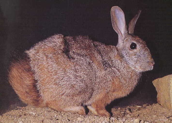 Natal Red Rock Hare