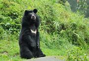 Bear, Himalayan Black.jpg