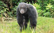 Chimpanzee, Common (V2)