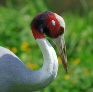 Crane, Sarus