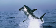 Earth 2009 Shark