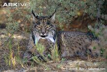 Iberian-lynx-at-rest.jpg