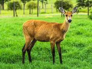 Marsh Deer (Doe)