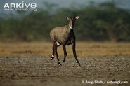 Nilgai-male-running